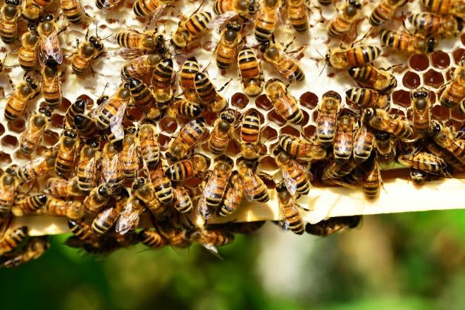 honey-bees-401238_960_720